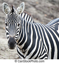 Grant's Zebra (Equus burchelli boehmi) - Closeup of the...