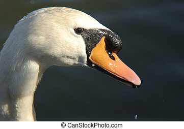 Hampstead-01-0061 - Isolated close up shot of a swan\'s head