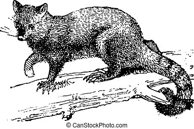 Possum, vintage engraving - Possum, vintage engraved...
