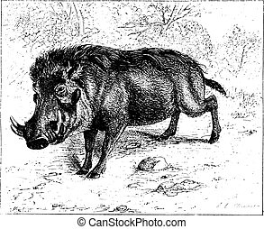 Warthog or common warthog, vintage engraving. - Warthog or...