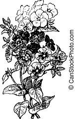 Phlox, vintage engraving. - Phlox, vintage engraved...