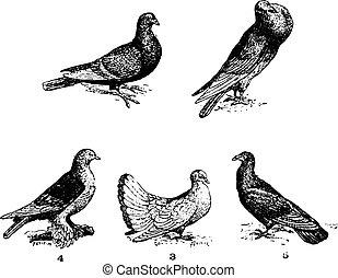 Pigeons, vintage engraving.