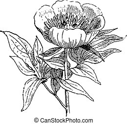 Paeonia or Peony, vintage engraving. - Paeonia or Peony or...