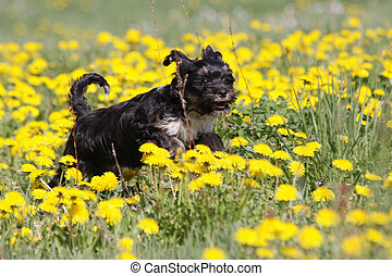tibetan terrier running in dandelions medow