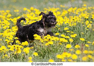 tibetan terrier running in dandelions medow