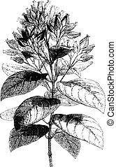 Cinchona condaminea (fruit), vintage engraving