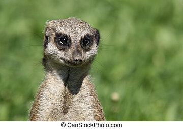 suricata - portrait of suricata