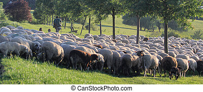Flock of Sheep in the Taunus mountains in Germany