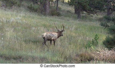 Bull Elk - a bull elk walking through a meadow looking for...