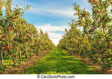 Rows of red apple trees (Annapolis Valley, Nova Scotia,...