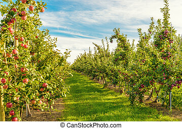 Rows of red apple trees Annapolis Valley, Nova Scotia,...