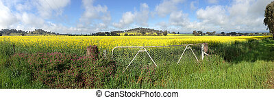 Cowra Canola Field Panorama - Canola fields growing in Cowra...