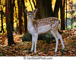 Fallow deer - A beautiful fallow deer in a colorful autumn...