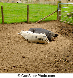Pair of pigs sleeping in a pig pen