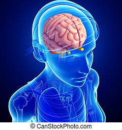 Human brain antomy - Illustration of human brain anatomy