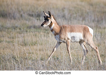 Pronghorn native to interior western North America