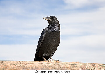 Raven - Black Raven standing on a timber, blue sky with...