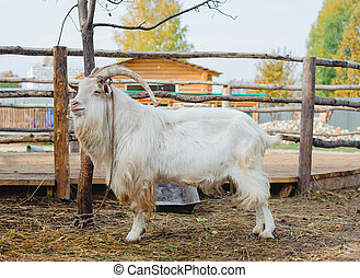 goat - white goat with large horns in a farm