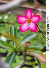 Red Desert Flower, adenium
