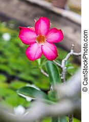 Desert Flower, adenium