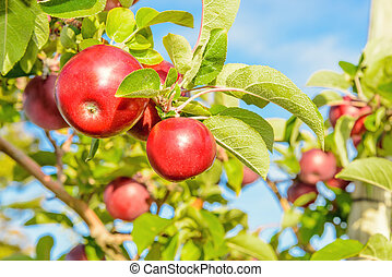Red apples hanging on the tree Annapolis Valley, Nova...