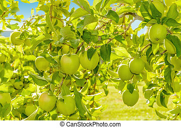 Green apples hanging on the tree Annapolis Valley, Nova...