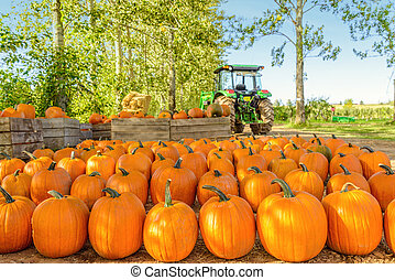 Freshly Picked Pumpkins In Early Fall Annapolis Valley, Nova...
