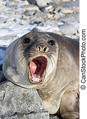 Portrait of a young southern elephant seal who growls a...