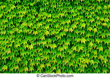 Green background from leaves on the wall
