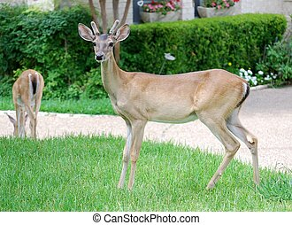 Deer in a Suburban Yard - Young buck and fawn on a suburban...