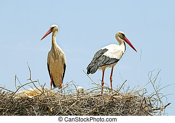 Couple of Storks with his young