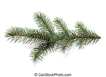 fur-tree branch. - Twig of evergreen fir on white. fur-tree...