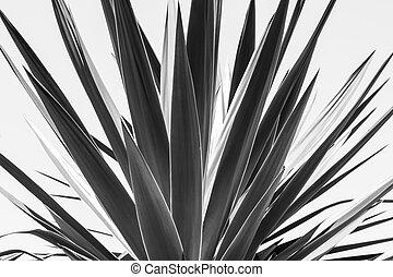 agave, Arriba,  versión, negro, cierre, blanco