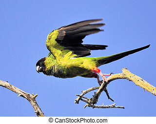 Black Hooded Parakeet - The Black Hooded Parakeet in the...