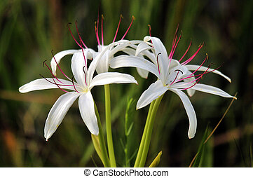 Spider Lily - The Spider Lily in the wetlands of south...