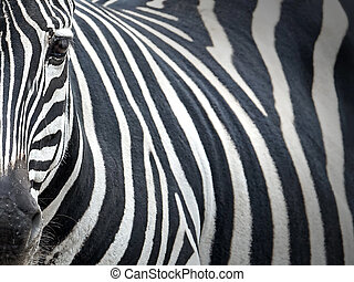 Grants Zebra (Equus burchelli boehmi) - Closeup portrait of...