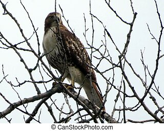 Red Tailed Hawk on a branch.