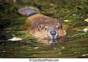 Swimming beaver - Cute swimming beaver in murky lake water