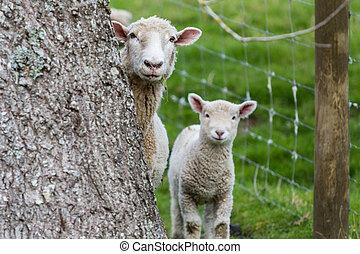 Sheep Lamb - Hiding behind tree sheep and lamb