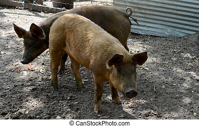 pigs in a pig pen - two cute pigs in a pig pen