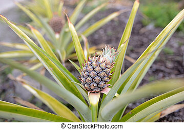 fresh pineapple plant growing in nature