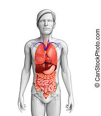 Digestive system of male body - Illustration of male...