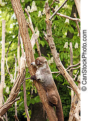Coati climbing on tree wildlife