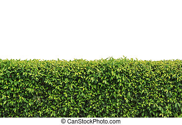 hedge isolated - green hedge or Green Leaves Wall on...