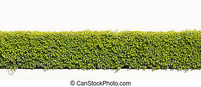hedge isolated. - green hedge or Green Leaves Wall on...
