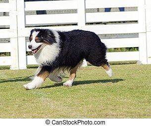 Australian Shepherd dog - A young, healthy, beautiful,...