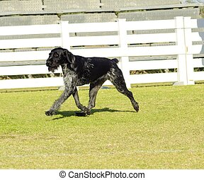 German Wirehaired Pointer - A young, beautiful, black and...