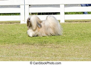 Lhasa Apso - A profile view of a small young light tan,...