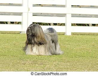Lhasa Apso - A small young light tan, fawn, beige, gray and...