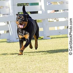 Rottweiler dog - A portrait view of a healthy, robust and...